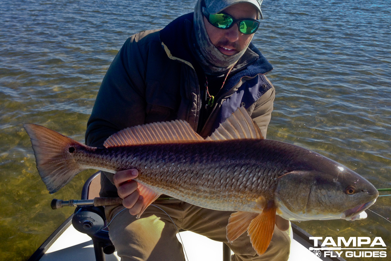 Tampa bay redfish tampa fly guides for Fly fishing redfish