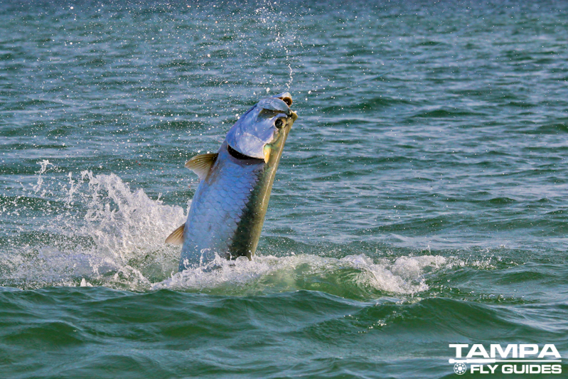 Fly fishing florida tampa fly guides for Tampa fly fishing
