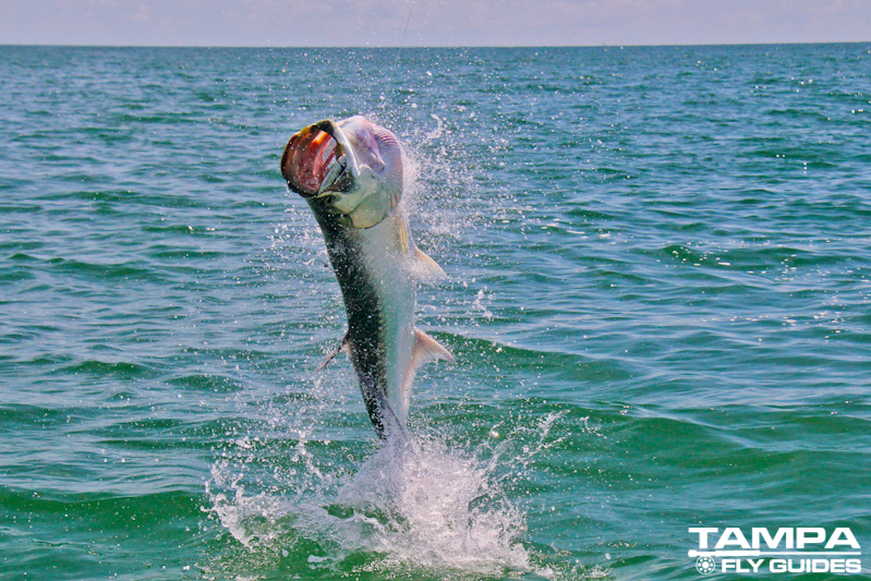 Fly fishing florida tampa fly guides for Tampa fishing outfitters